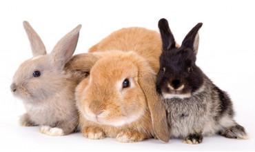 Що потрібно для утримання декоративних кроликів?